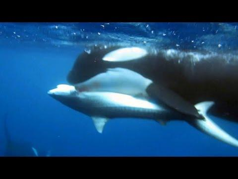Tiger Shark Learns Not To Mess With Killer Whales