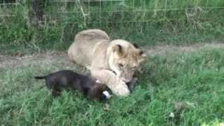 Lion Play Fights With Wiener Dog