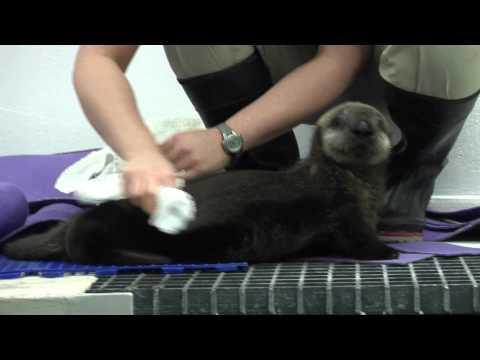 Cute - Sea Otter Pup Gets Groomed
