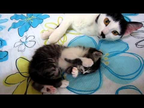 Cute - Mother Cat Comforts Kitten