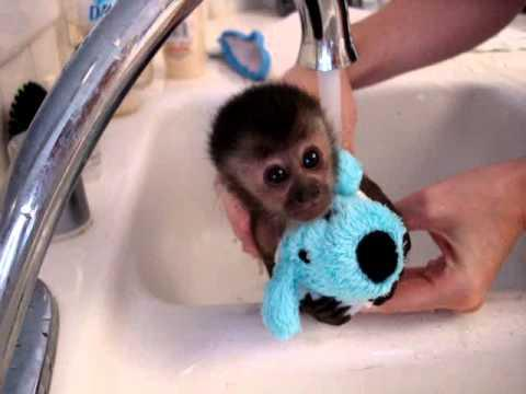Cute - Baby Monkey Gets A Bath