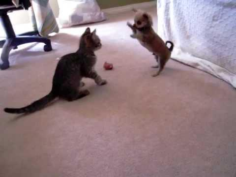 Cute - Chihuahua Puppy Vs Kitten