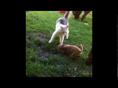 Cute - Puppy Play Fights With The Cat