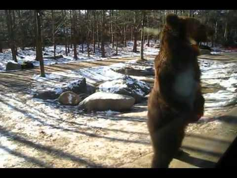 Cute - Bear Stands Up And Walks Like Humans