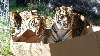 Tigers, Leopards, And Lions Love Boxes