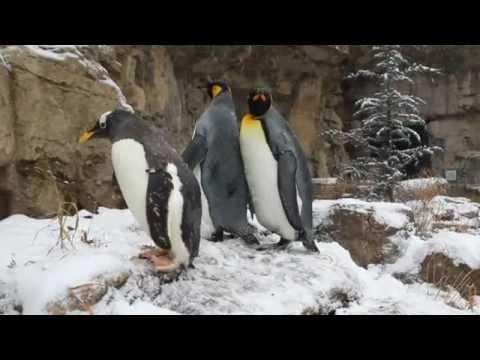 Cute - Penguins Go Out For A Walk