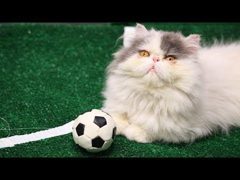 Cats Go To The Finals In World Cup 2014