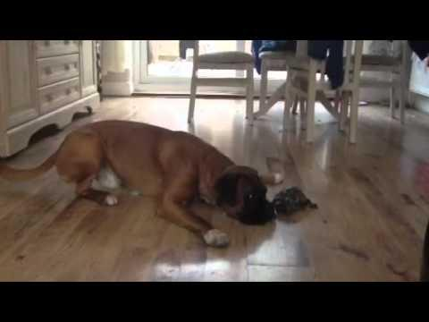 Jokes - Dog Play Fights with A Turtle