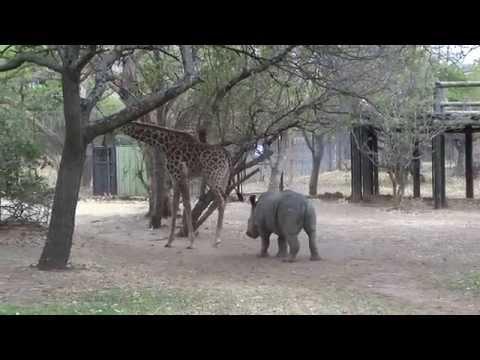 Giraffe Gets Annoyed By The Rhino