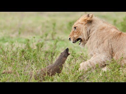 Brave Mongoose Vs Four Lions