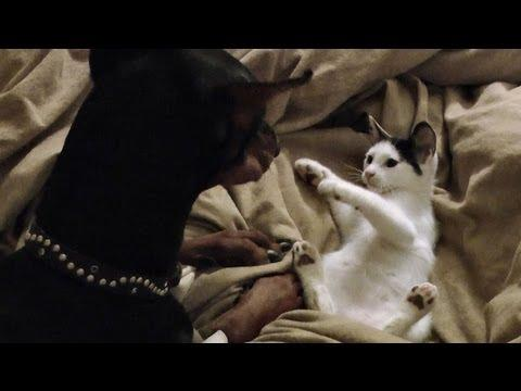 Cute - Kitten Fights With Doberman