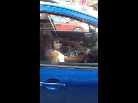 Impatient Boxer Dog Inside The Car