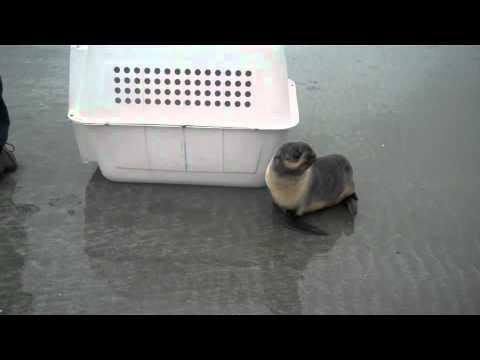 Cute - Baby Seal Gets Released
