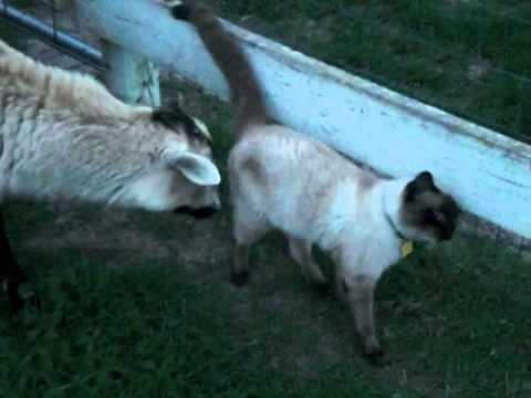 Jokes - Sheep Are Attracted To The Cat