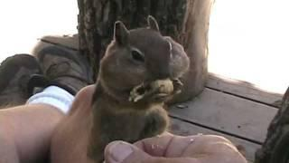 Cute Chipmunk Takes Peanuts From The Guy