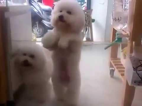 Fluffy Bichon Frise Dog Shows Off Dance Moves